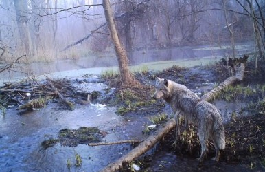 A lone wolf looks over the somber landscape in the Chernobyl Exclusion Zone. It is likely not alone due to rapidly increasing wolf populations.