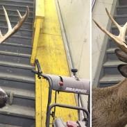 Grand Rapids Deer 1