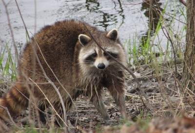 Becoming a competent trapper will take some time, but you've got to start somewhere to start nabbing critters like raccoons.