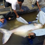 Zeb Hogan (left) and fisheries officials carefully released this Mekong giant catfish after it was caught last week.