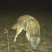 Coyotes kill a huge number of fawns each year. When you see them on your trail cameras, it's time to take some action.