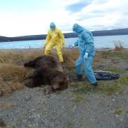 NPS employees standing over a dead bear near Brooks Falls in Katmai.