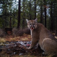 Mountain lions in the Midwest? It may not be too long before you find images like this on your trail cam.