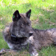 Oregon officials say hunters shouldn't expect a wolf season anytime soon. A collared wolf can be seen in this image.