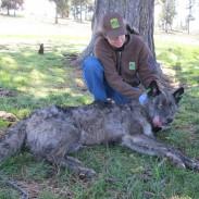 Should Oregon delist its gray wolves. Here a biologist handles a captured alpha male.