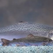 A genetically modified salmon (top) compared to a regular farm-raised salmon of the same age.