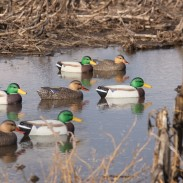 Hard Core's Economy Mallards in the field. Image courtesy of Derrek Sigler.