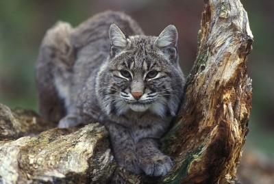 Hunter Records Bobcat Attacking Buck under Treestand