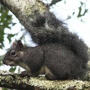 WesternGraySquirrel1