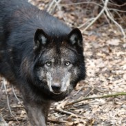 A pack of black wolves are suspects in the killing of a calf in Siskiyou County, California last month.