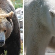 Who would in a fight between a grizzly and a polar bear? Polar bears may be bigger, but grizzlies are far more aggressive.
