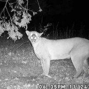 Much like a human hunter, this cougar knows deer sign when it sees it.
