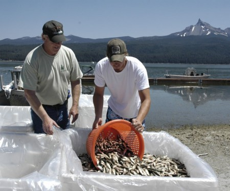 There were once 95 million tui chub overrunning Diamond Lake. You can see why officials would be upset to find even one of the fast-breeding minnows back in the lake.