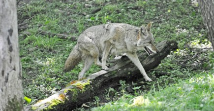 Magic mushrooms and coyotes may not be a good mix. Some say that overly-excitable coyotes are proving to be a nuisance in California.