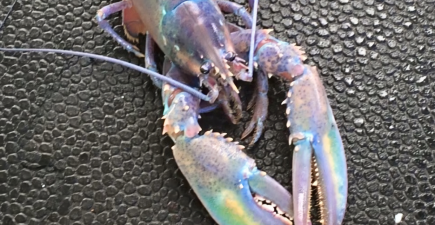 If lobsters had better eyesight, then this critter would definitely be the belle of the ball.