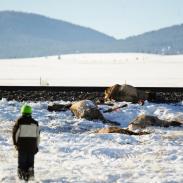 A herd of elk taking advantage of snow-free tracks in Montana was struck by a train last week.