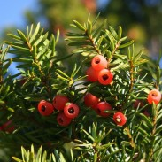 All yew plants are toxic, but the Japanese yew is considered one of the most dangerous.