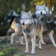 A new amendment on the Bipartisan Sportsmen's Act would remove wolves from federal protections in four states.