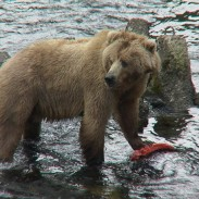 Kodiak_Bear_with_salmon,_USFWS_DI-DSC00044