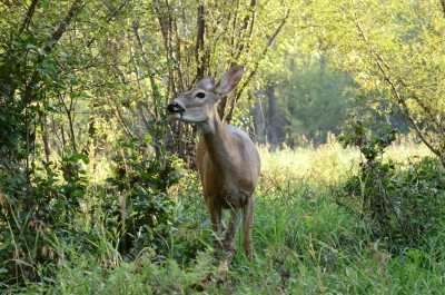 Researchers estimate that one fourth of East Coast whitetails are actually infected with malaria parasites.