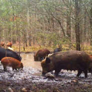 Officials say that hunters showing up and disrupting trapping attempts is one of the reasons why they may soon be banned from hunting hogs on certain state-owned lands.