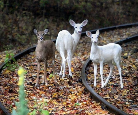An aerial survey of the Seneca Army Depot reveals that the white deer herd has declined by more than half.