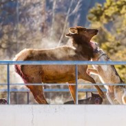 This unfortunate elk met its end after a pack of wolves cornered it on a park overpass.