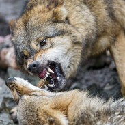 A man in Russia says he intervened when he saw a wolf attacking a woman near her home.