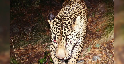 Meet El Jefe, the only jaguar known to exist in the United States.