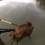 pigcurling