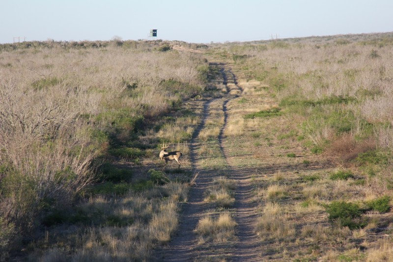 The brush country of south Texas doesn't look like typical whitetail habitat, but ranchers provide supplemental food and water so the deer thrive there.