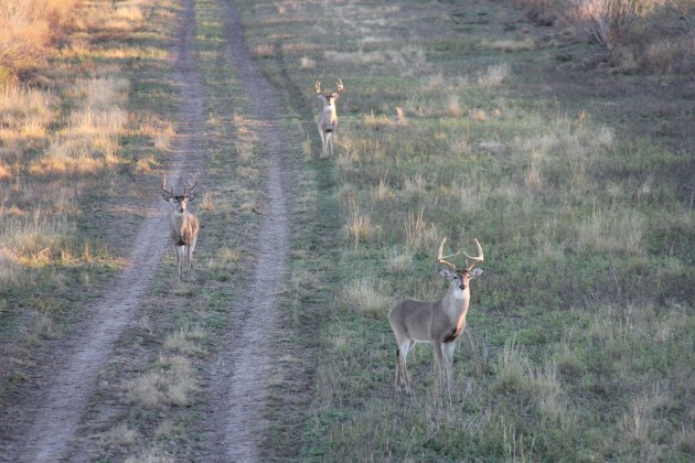 Growing big bucks requires a hunter to be selective in the deer he shoots. The buck in the back is too big to be shot by a management hunter, the one on the right is too young. The one on the left is a mature eight-point, the perfect deer to take out of the gene pool.