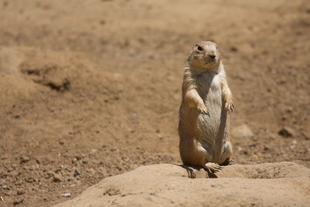 Behind their tiny, fluffy exterior, prairie dogs actually may harbor predatory instincts.