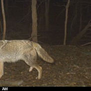 "Why is there always ""controversy"" over coyote hunts? Image courtesy Cuddeback Scouting Cameras."