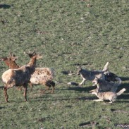A night of slaughter left 19 elk dead, and officials now suspect it to be the work of wolves.