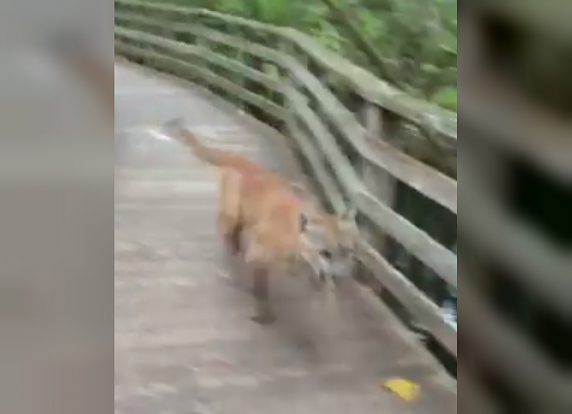 Florida panther surprises woman in Corkscrew Swamp Sanctuary