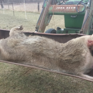 That's a whole lot of bacon, but this is one hog that you don't want to get close to.