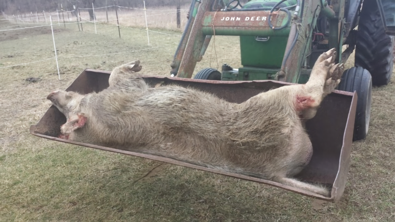 Michigan Deputies Put down 600-pound Wild Pig with 6-inch ...