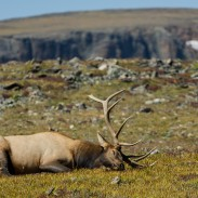 CWD is especially dangerous to elk and deer, and is considered one of the greatest threats to those species outside of habitat concerns.
