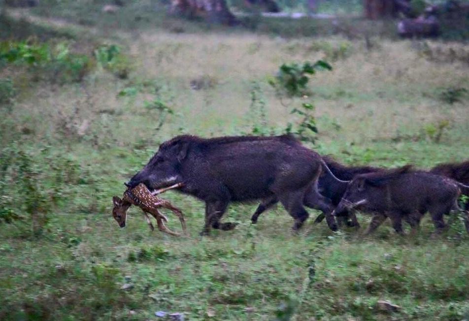 Think Wild Hogs Don T Kill Deer Think Again Outdoorhub