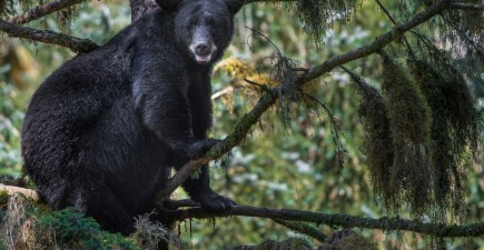 Indiana's first bear visitor in over 140 years turned out to be an unruly houseguest.