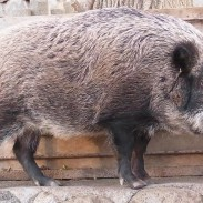 """Wild boar, also known colloquially as """"mountain whales,"""" in Japan, are fast becoming a problem."""