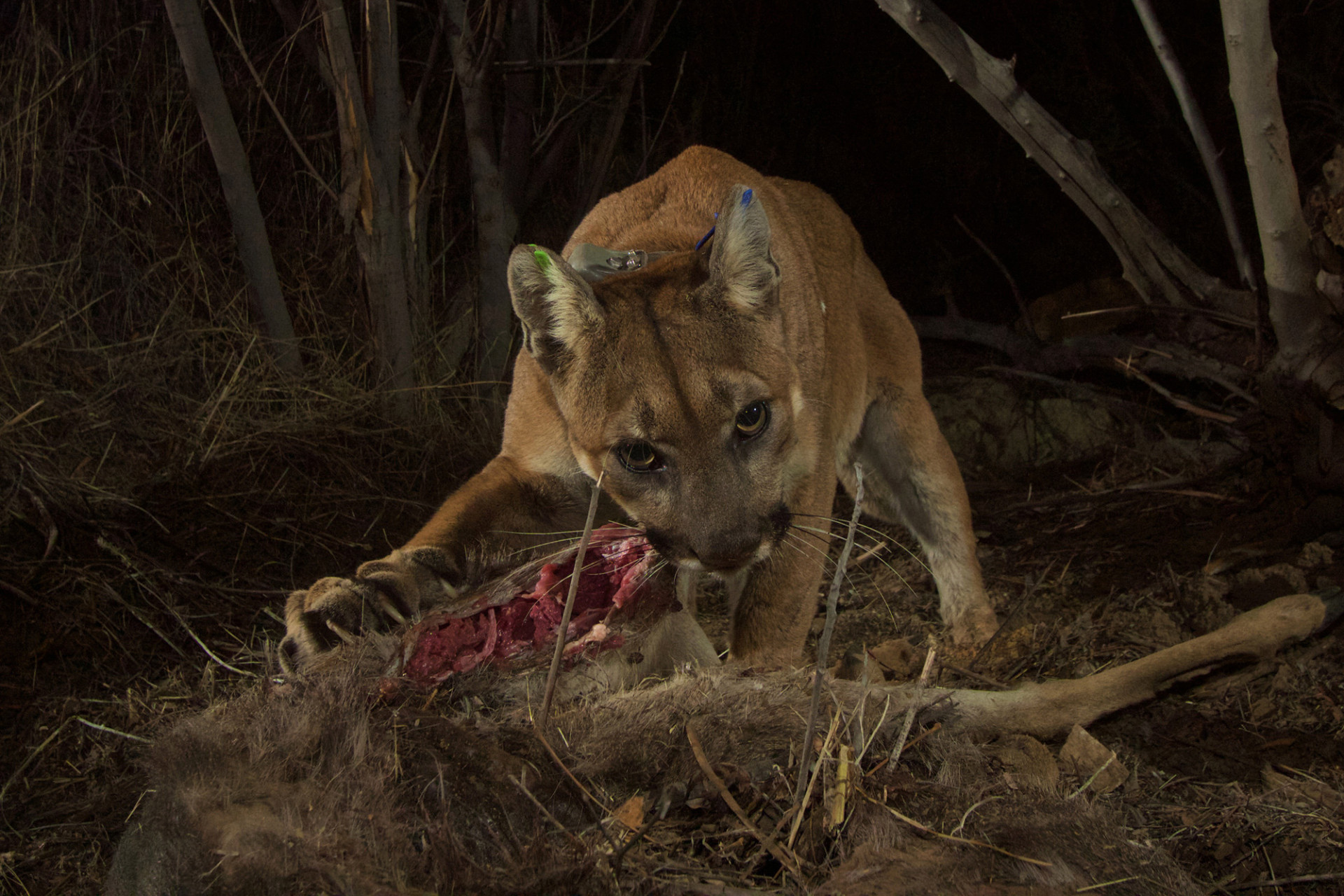 Trail Cam Captures Mountain Lion and Bears Eating Deer ...