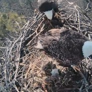 live eagle