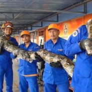 Civil Defense workers trapped this massive python on a construction site last week.