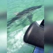 sharkcollision411