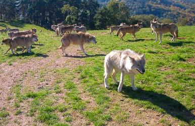 wolfspecies428