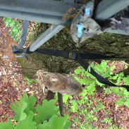 Bobcat treestand 5-31-16