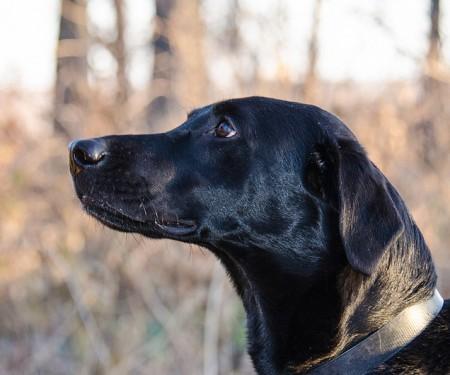 Hunting Dog (Flickr, m01229)