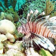 Lionfish (Flickr Greg Grimes)